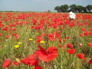 Poppies Norfolk-Tours